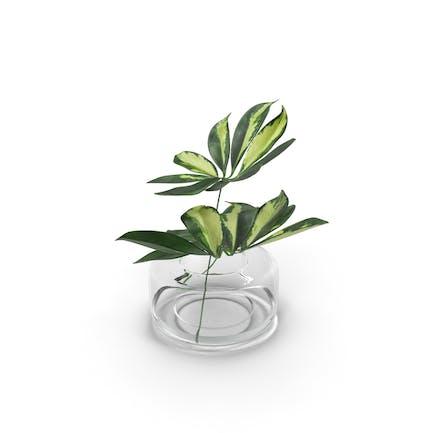 Schefflera Blätter