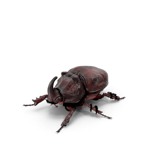 Thumbnail for Rhinoceros Beetle Oryctes Nasicornis Standing with Fur