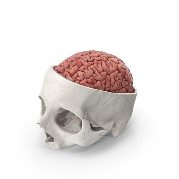 Cover Image for Menschlicher Schädel Schädelschnitt weiß mit Gehirn im Inneren