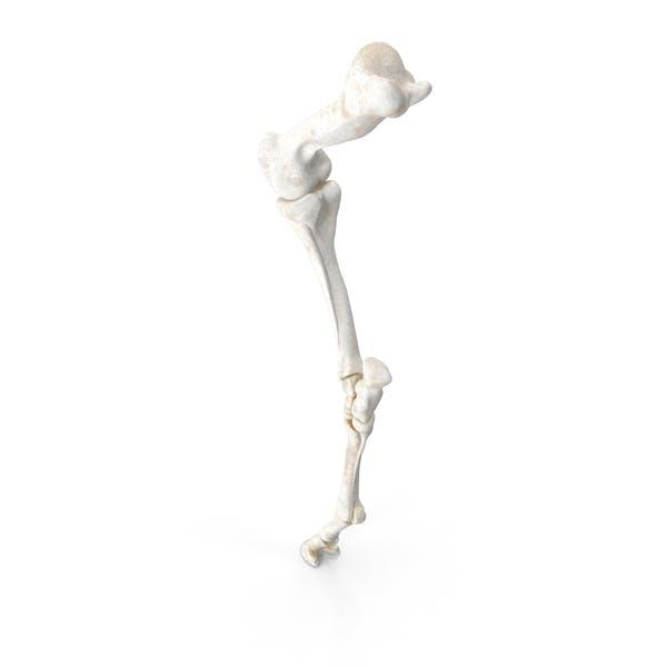 Кости переднего коня