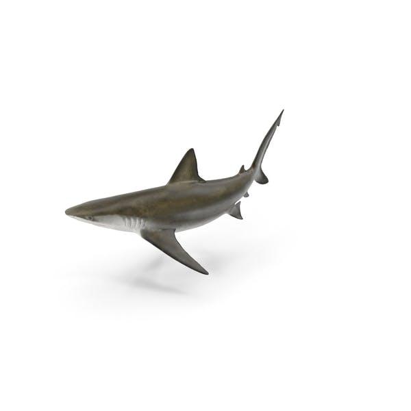 Cover Image for Bignose Shark