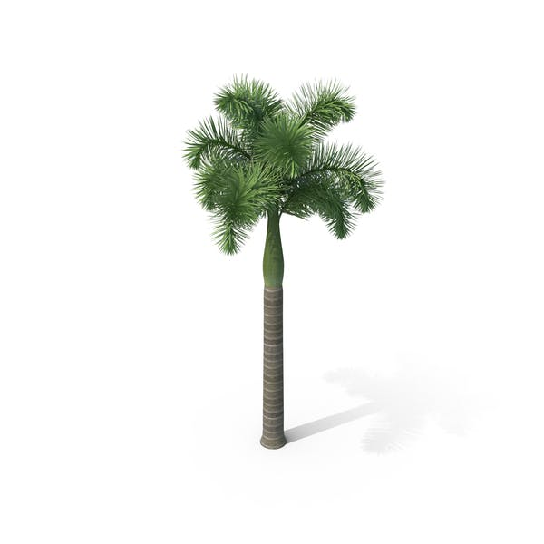 Thumbnail for Foxtail Palm Tree