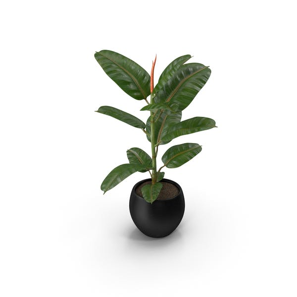 Ficus Elastica Tree in Pot