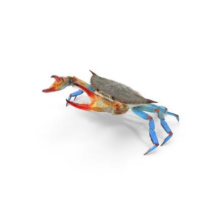 Atlantische Blaue Krabbe