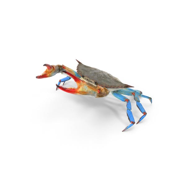 Atlantic Blue Crab