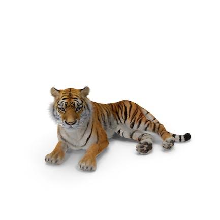 Liegender Tiger mit Fell
