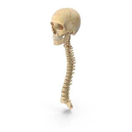 Huesos de la columna vertebral humana, cráneo masculino y mandíbula anatomía
