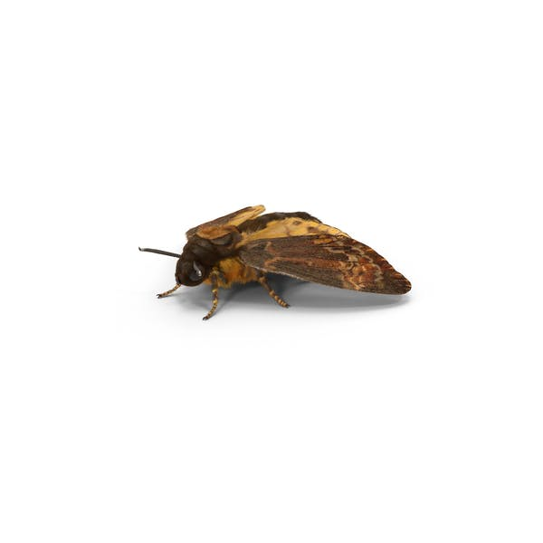 Cover Image for Death's Head Hawkmoth