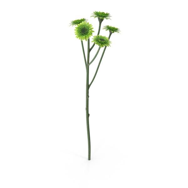 Cover Image for Santini Chrysanthemum