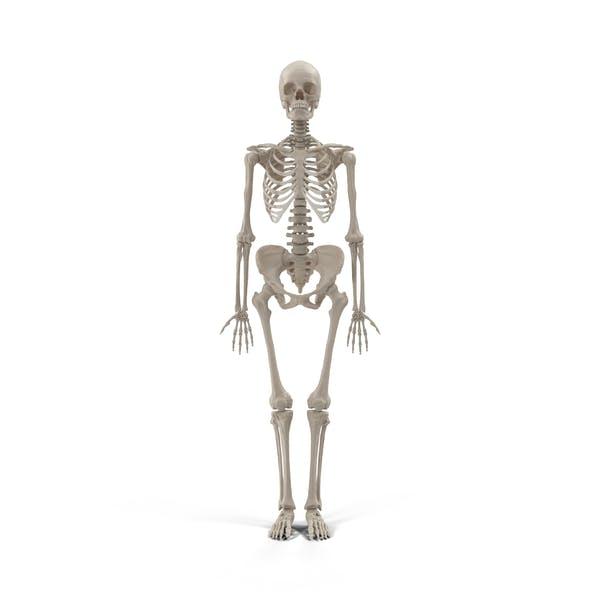 Thumbnail for Female Skeleton