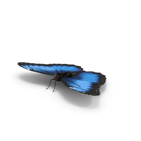 Thumbnail for Blue Morpho Butterfly