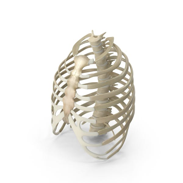Cover Image for Male Ribcage