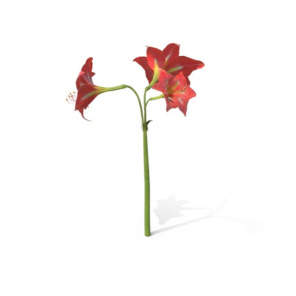 Cover Image for Amaryllis Red