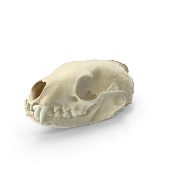 White Breasted Marten Skull and Jaw