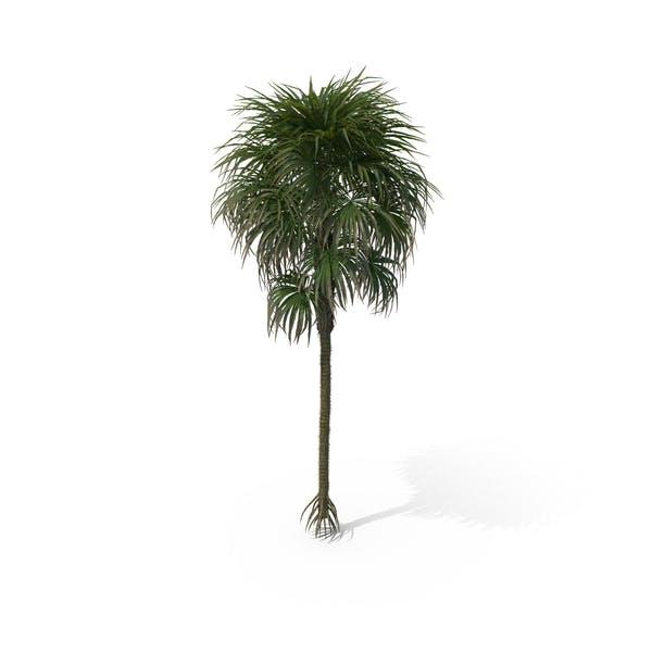 Пальма Криозофила Warscewiczii