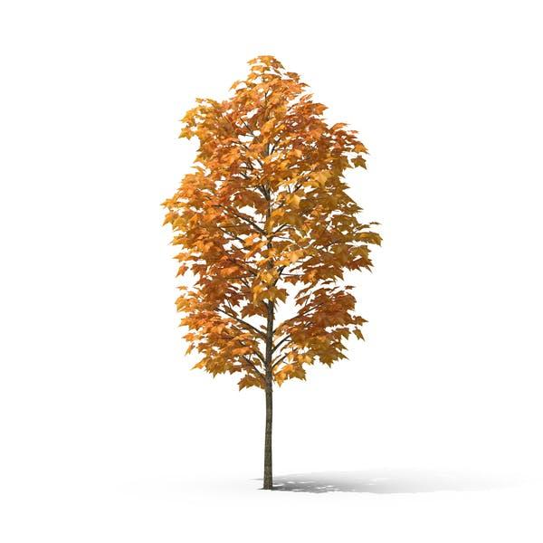 Autumn Sycamore Tree