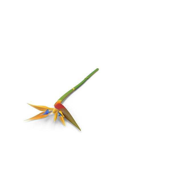Cover Image for Bird of Paradise Flower