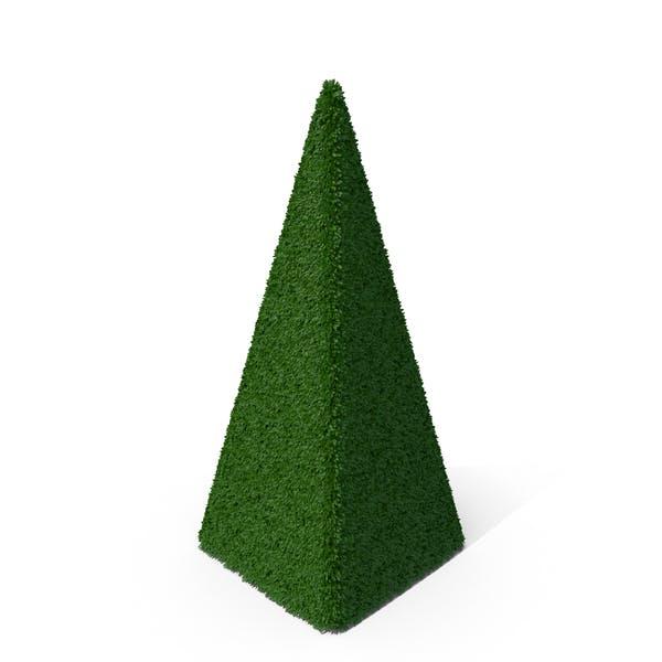 Boxwood Pyramid