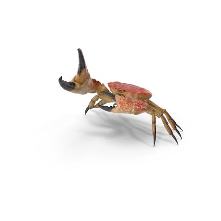 Königin Krabbe