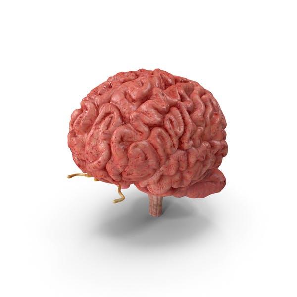 Полная анатомия мозга человека