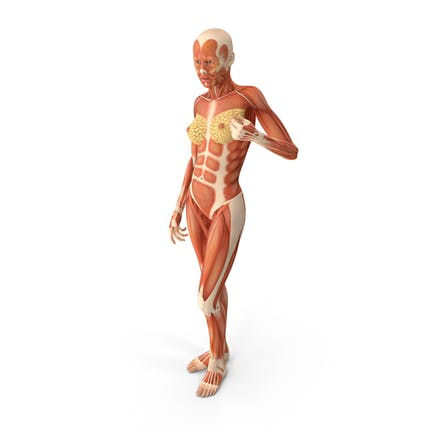 Anatomía de los músculos humanos femeninos