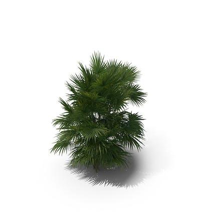 Palme Chuniophoenix Hainanensis