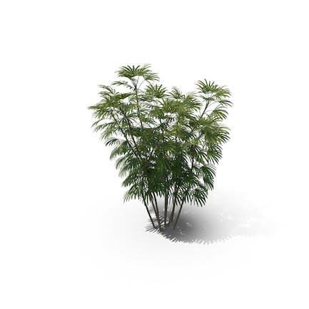 Palm Tree Rhapis Humilis