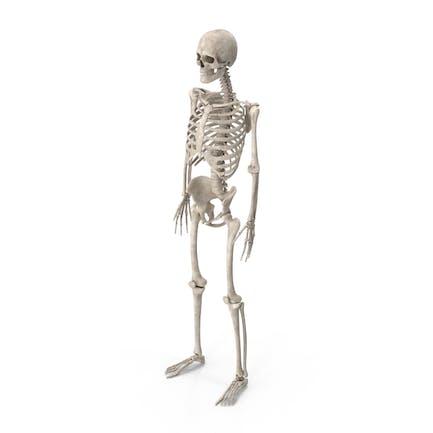 Esqueleto masculino