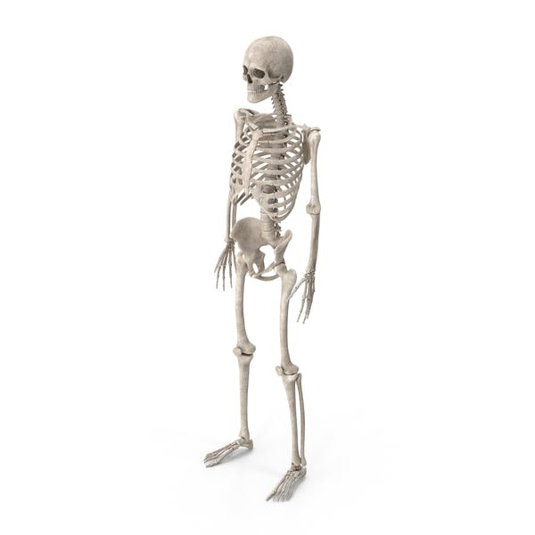 Thumbnail for Male Skeleton