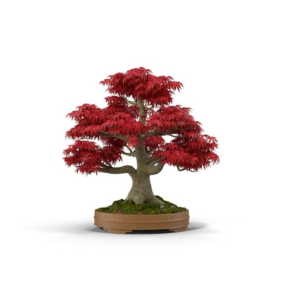 Thumbnail for Japanese Maple