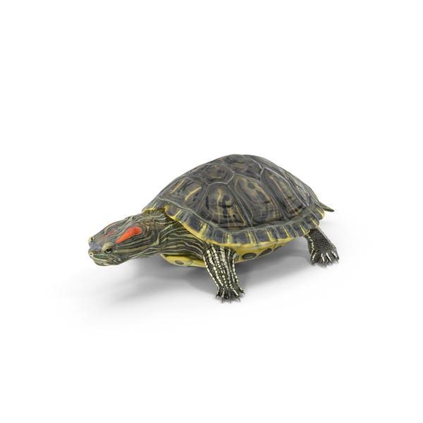 Pond Slider Turtle