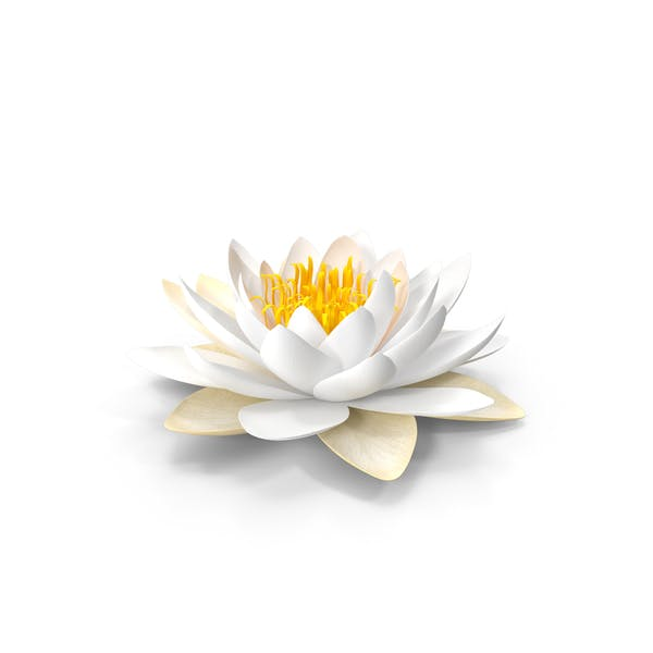 Thumbnail for Blooming European White Water Lily