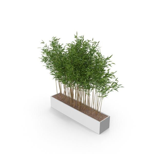 Thumbnail for Umbrella Bamboo Plant