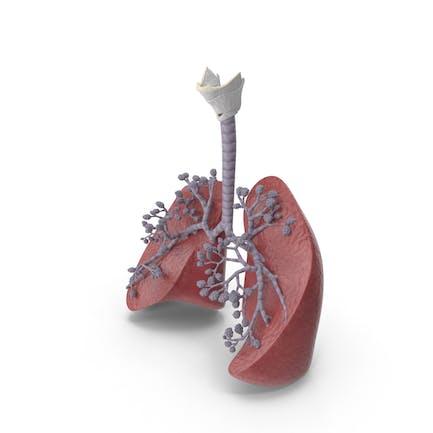 Atmungssystem Und Alveolen
