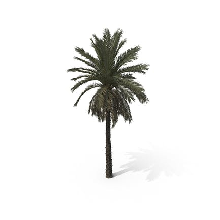 Palm Tree Phoenix Dactylifera