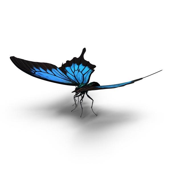 Papilio Olysses Schmetterling