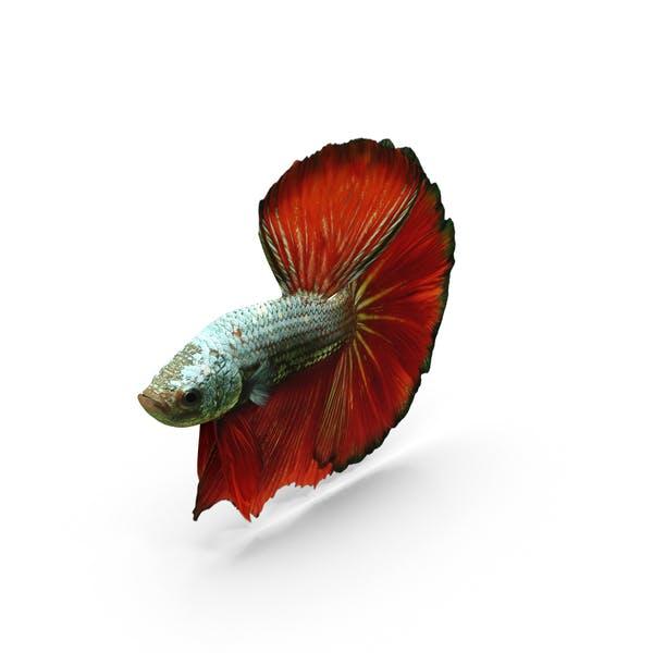 Cover Image for Male Betta Fish