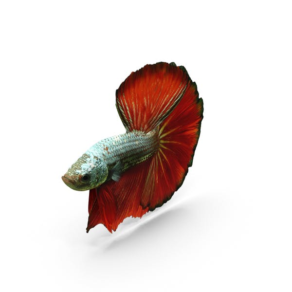 Thumbnail for Male Betta Fish