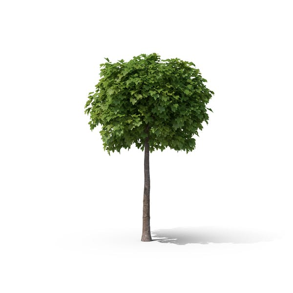 Thumbnail for Maple Tree