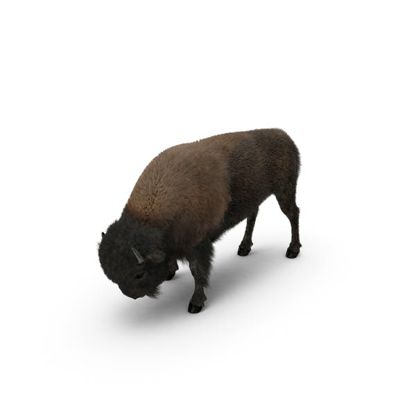 Thumbnail for American Bison Grazing