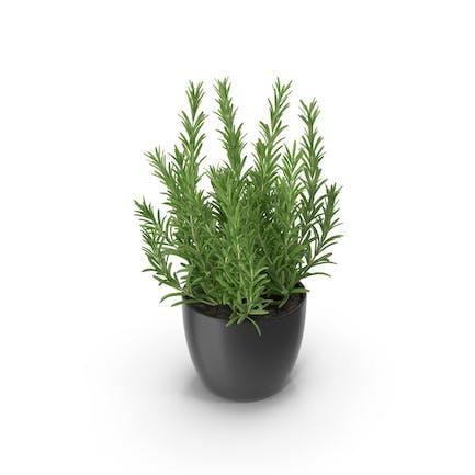 Rosemary Round Pot