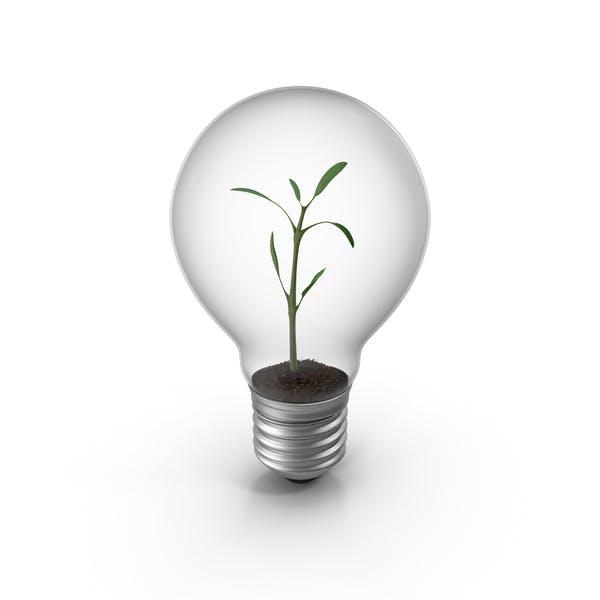 Thumbnail for Lightbulb Plant