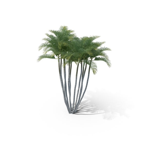 Thumbnail for Areca Palm Tree