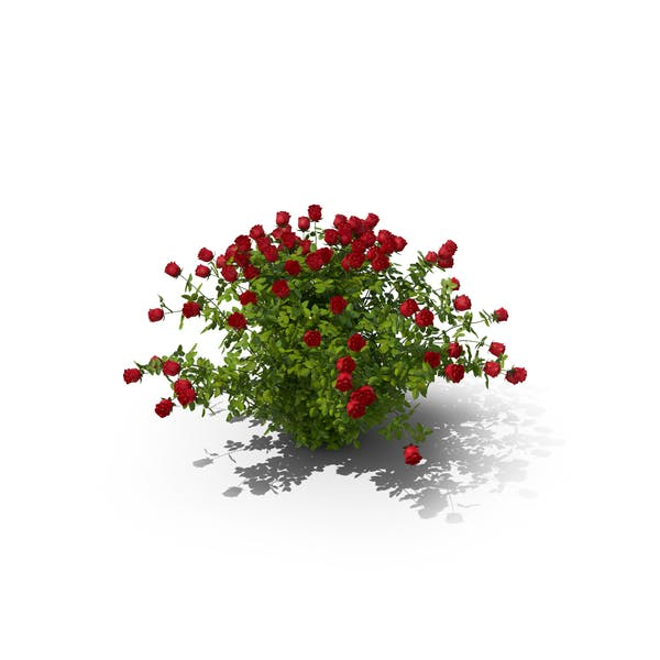 Cover Image for Rose Bush