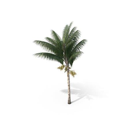 Palm Tree Acanthophoenix Crinita