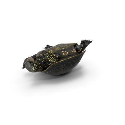 Europäische Teichschildkröte