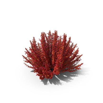 Berberitze Rot