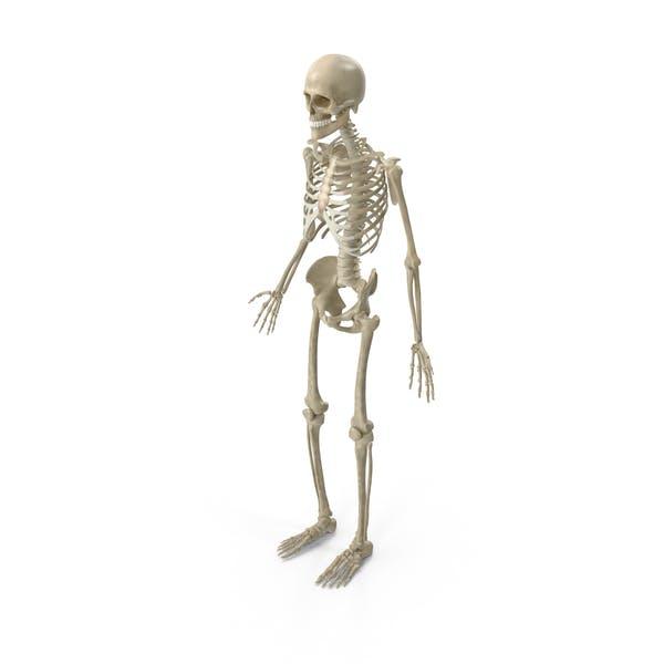 Мужской скелетной системы