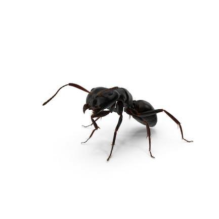 Schwarze Ameise