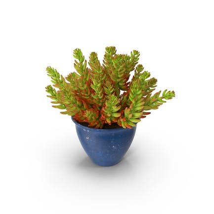 Sukkulente Zimmerpflanze
